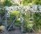 Княжики для вертикального озеленения