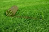 Рулонный газон. Чем лучше?
