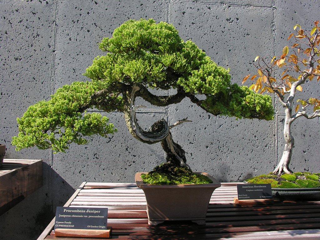 Бонсай своими руками — выбираем растение для новичков