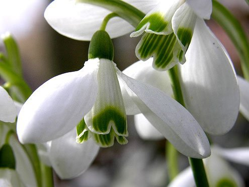 Галантус - первый весенний цветок