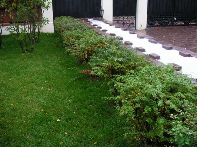 Живая изгородь, как первый шаг в дизайне вашего участка