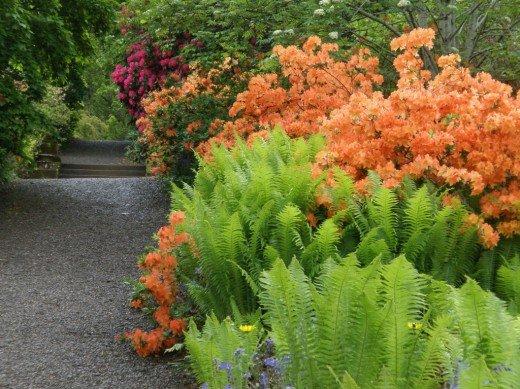 Украшаем сад папоротниками